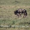 Wildebeest gives birth