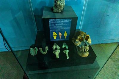 Fossilien des AUSTRALOPITHECUS AFARENSIS, Äthiopisches Nationalmuseum, Addis Abeba