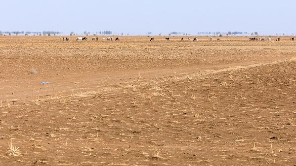 Rinder auf abgeerntetem Feld