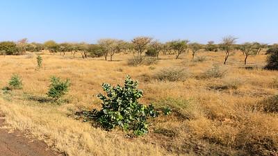 Akazienwald in der Halbwüste, Provinz al-Qadarif, Sudan