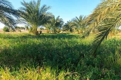 Luzerne (Alfalfa) ist eine häufig angebaute Futterpflante in der Niloase wie hier in Tumbus, Sudan