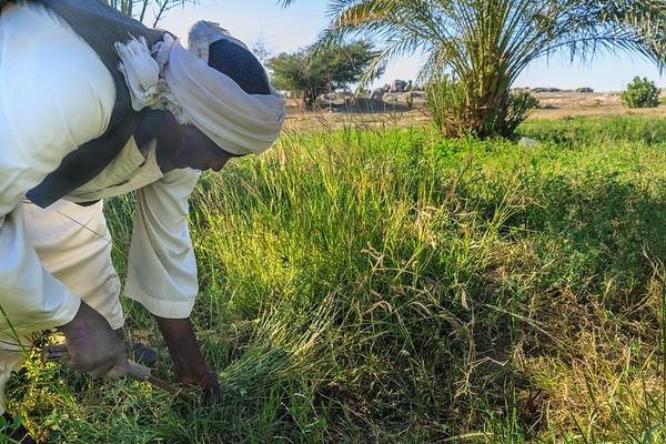 Ein Bauern erntet Luzerne in Tumbus, Sudan