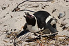 African Penguin on nest, Boulder Beach, South Africa.  February 2006