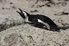 African Penguin, Boulder Beach, South Africa.  February 2006