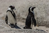 African Penguins, Boulder Beach, South Africa.  February 2006