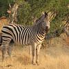 Zebra and kudus