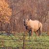 Black rhino at Matobo Hills NP