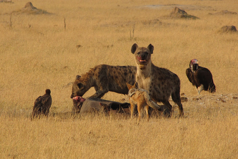 Hyenas feeding on a baby elephant; a jackal waits for his turn