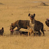 Hyenas feeding on a baby elephant; a jackal waits for his turn