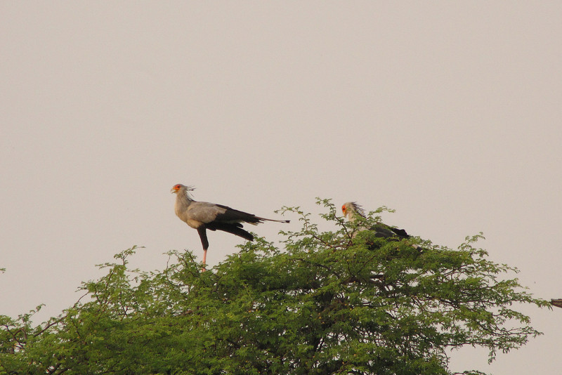 Two Secretary birds; one on a nest