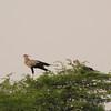 Two Secretary birds; one on a nest