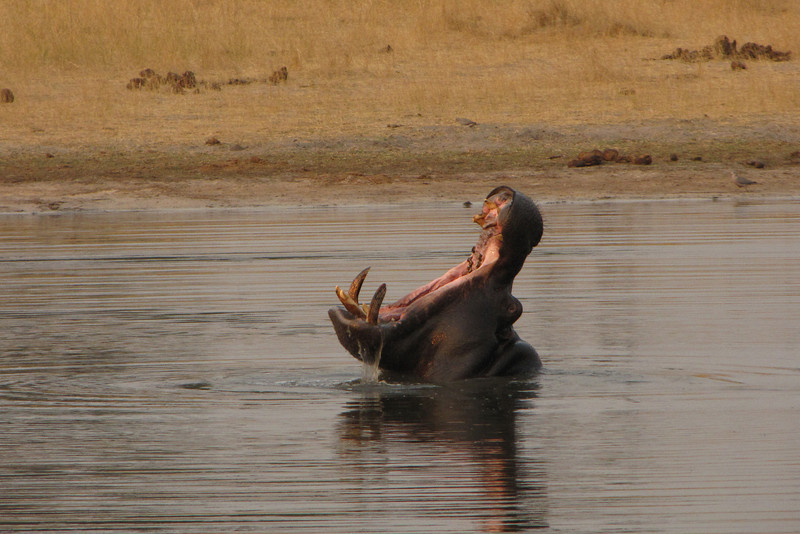 Yes, there is a hippo in Hwange!
