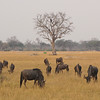 Wildebeests grazing the Ngweshla Pan