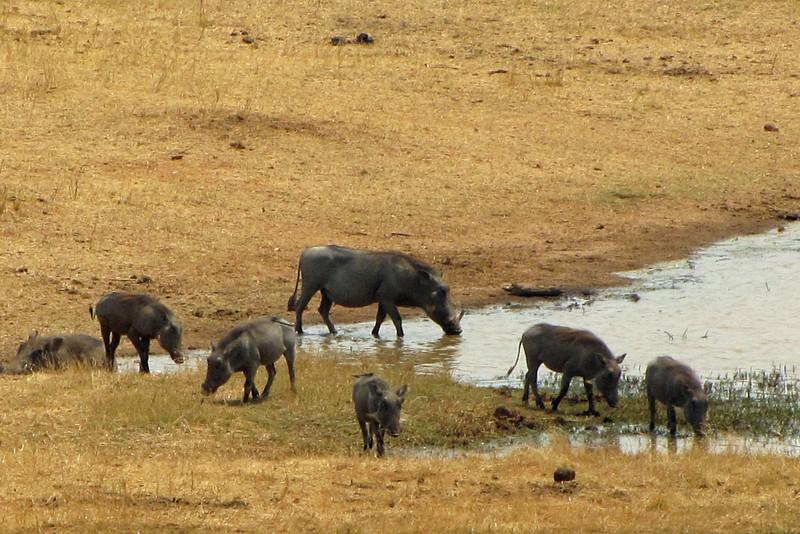 Warthogs at the waterhole