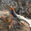 Lots of rocks = lots of lizards