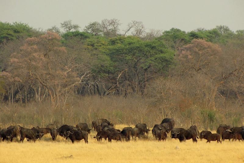 Buffalo herd in Hwange
