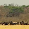Buffalo herd in Hwange