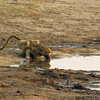 Baboon at a waterhole