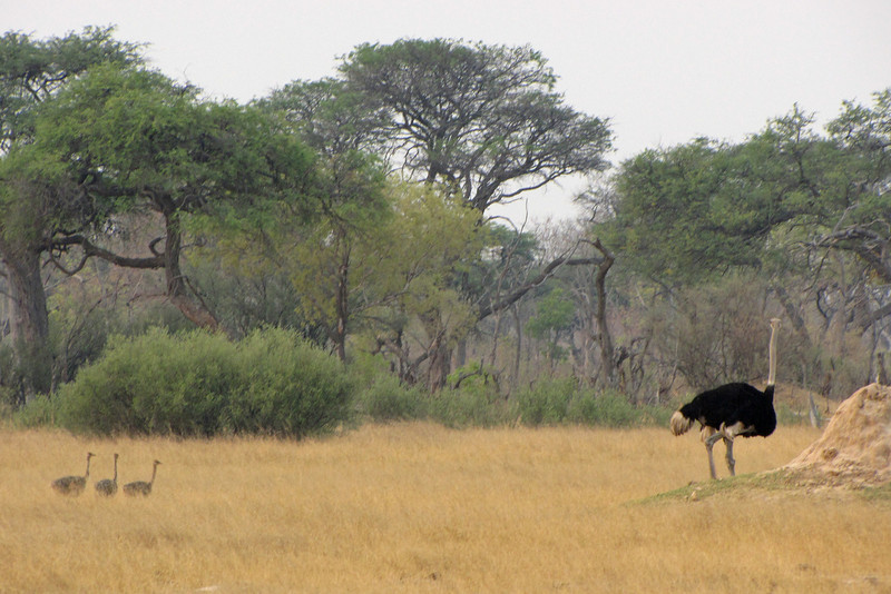 Ostrich father with chicks; the mother was close behind.