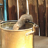 The mongoose enjoyed my water bucket.