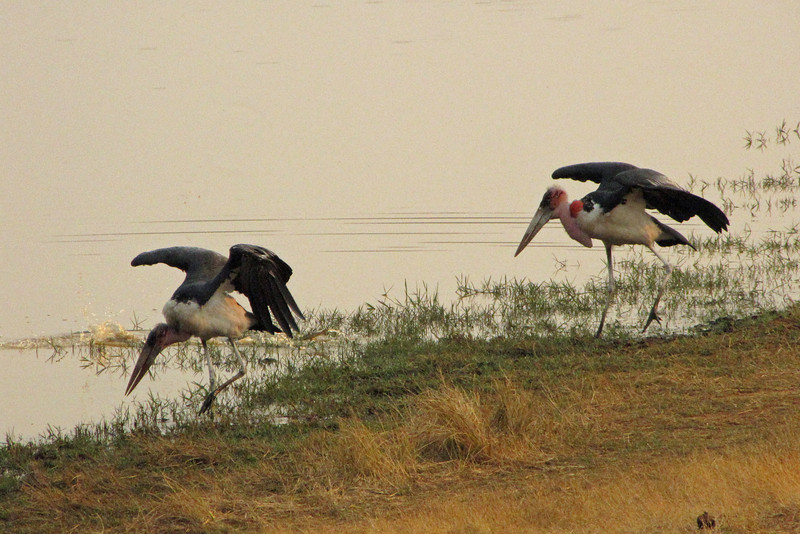 Marabou storks at the waterhole