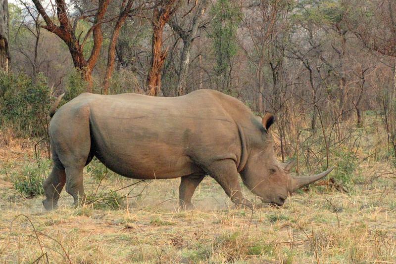Swazi, a 47-year-old white rhino