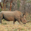 Swazi, a 47-year-old white rhino