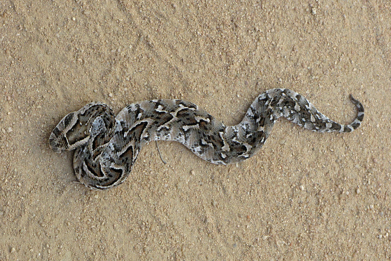 Young Puff Adder on the road