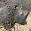 Swazi had also not been dehorned (at least in the past few years).