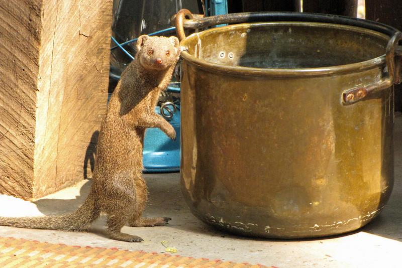 Dwarf mongoose visit