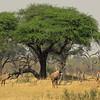 Roan antelope in Hwange