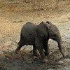 Baby elephant enjoying a mud bath