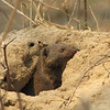 Dwarf mongoose peeks from his home in a termite mound