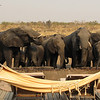 Elephants drinking from the Somalisa swimming pool
