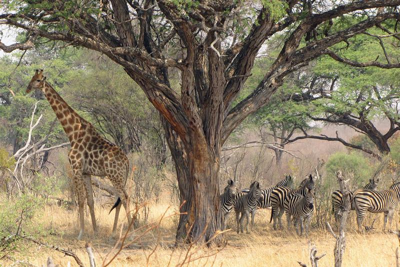 Giraffe and a dazzle of zebras