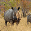 Most of Zimbabwe's rhinos have been dehorned; they hadn't found this lady, yet.