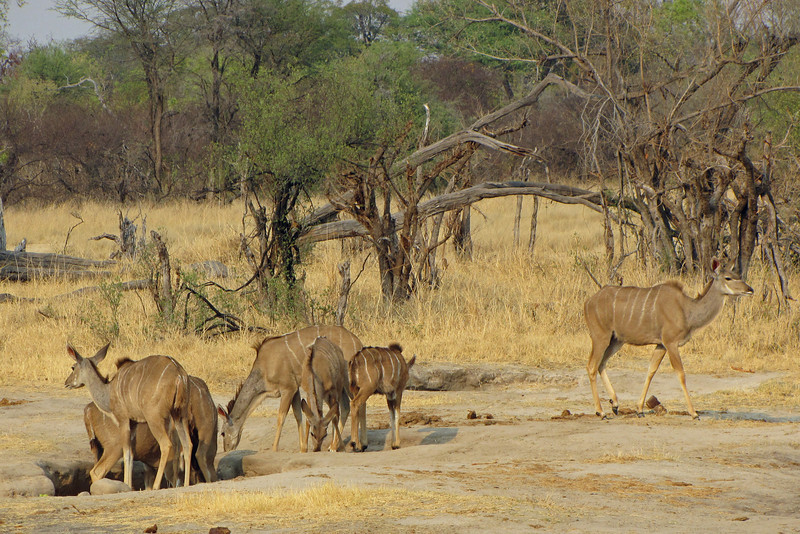 Kudus getting minerals from the soil
