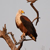 African Fish Eagle, Chobe