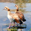 Egyptian Geese, Sun City