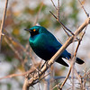Cape Glossy Starling, Chobe