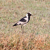 Blacksmith Lapwing, Chobe