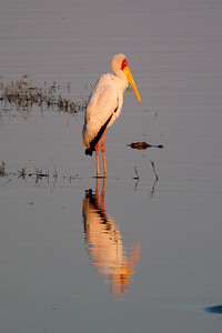 Yellow Billed Stork, Chobe