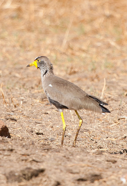Masked Lapwing, Rhino and Lion Reserve, Johannesburg