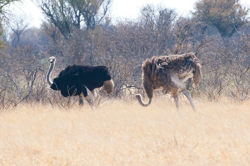 Pair of Ostriches, Kutse