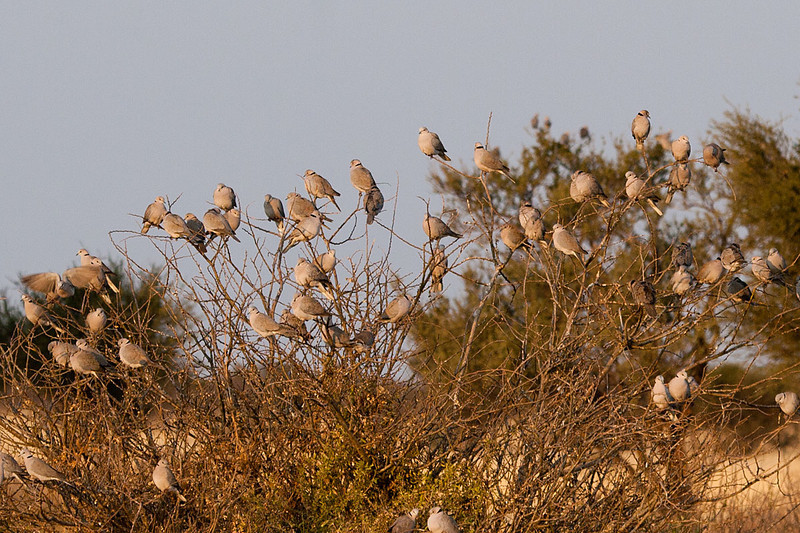 Cape Turtle Doves, Kutse