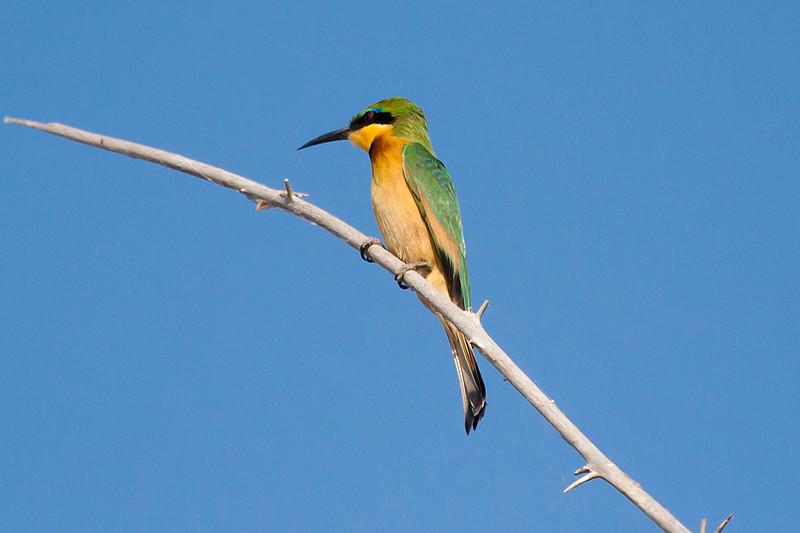 Little Bee Eater, Chobe