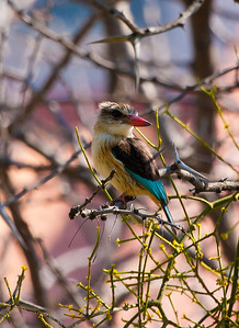 Brown Hooded Kingfisher, Gaborone