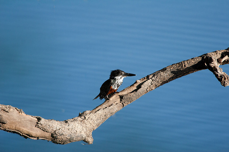Giant Kingfisher, Chobe