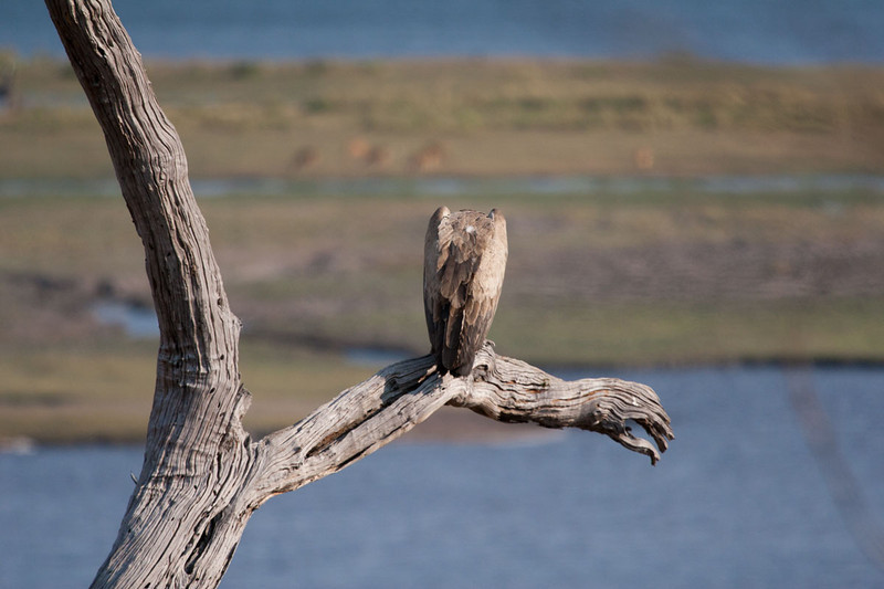 White backed vulture, Chobe