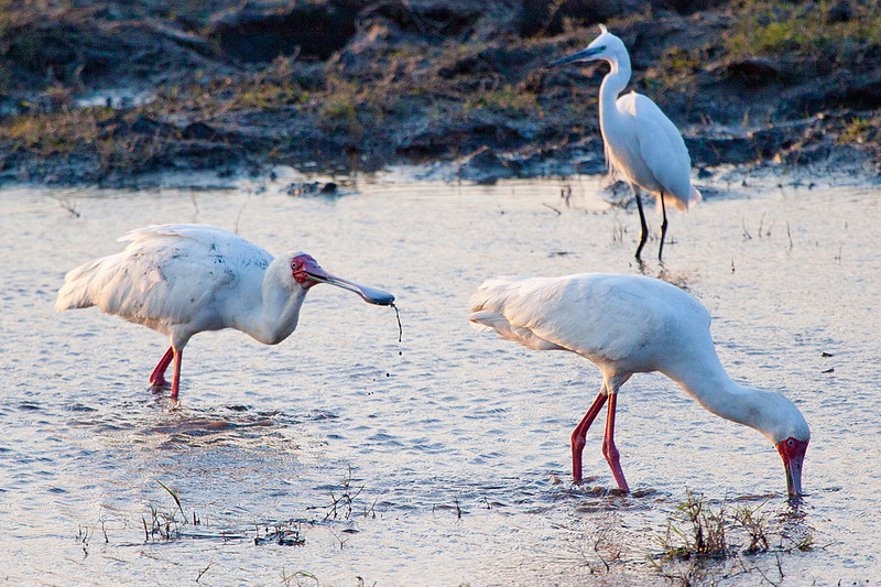 African Spoonbills and Great White egret, Chobe